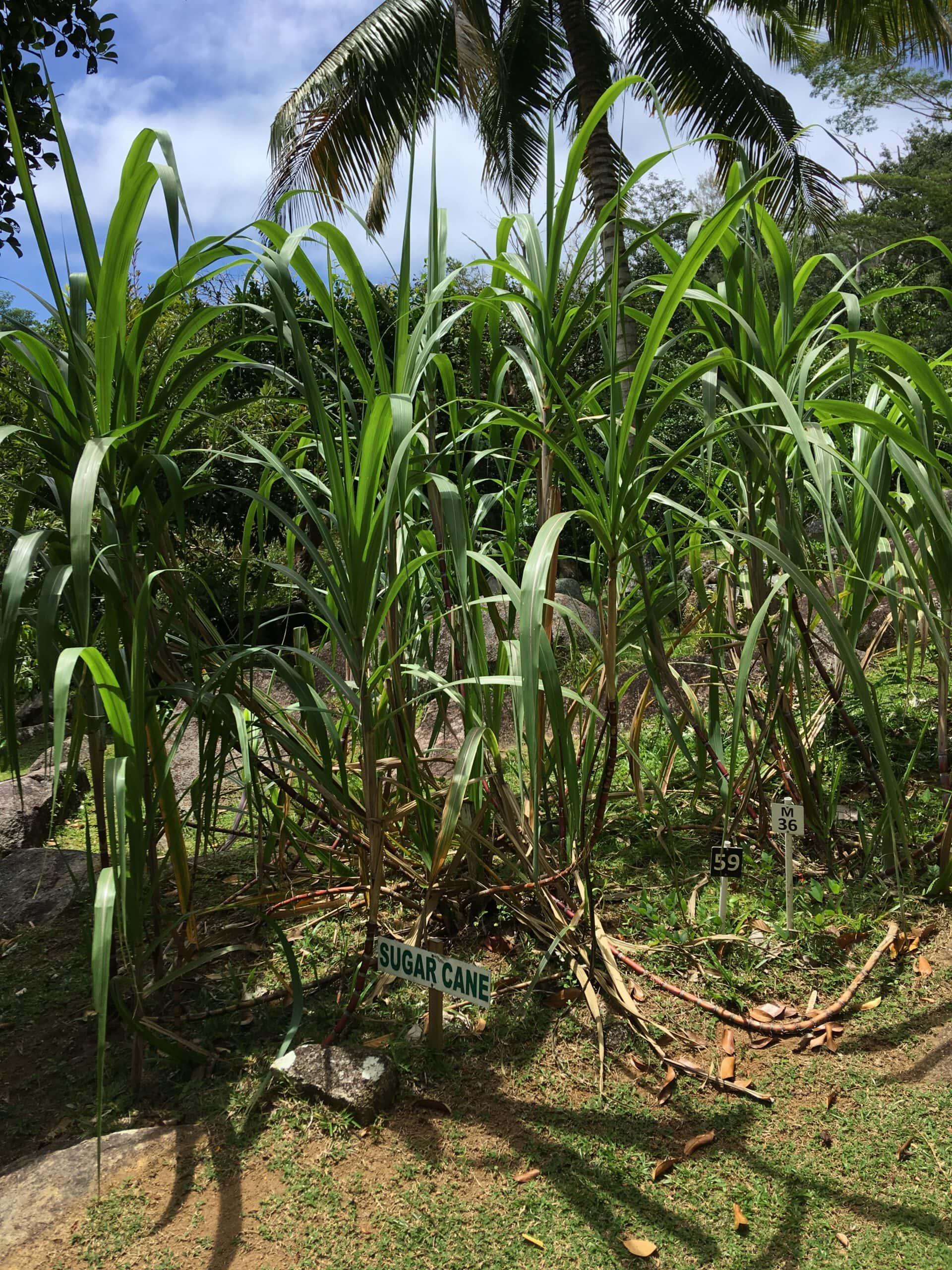 Rhum Agricole – der landwirtschaftliche Rum